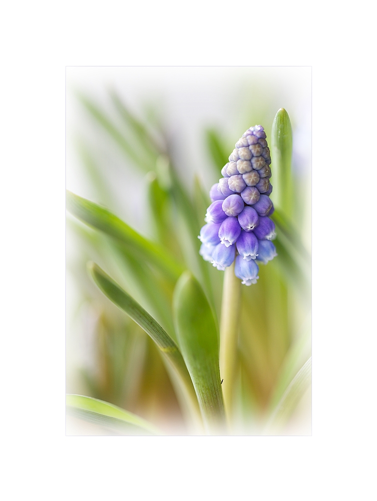 Muscari - Traubenhyazinthe by Ursula Zürcher