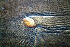 Muschel am Strand in Conil