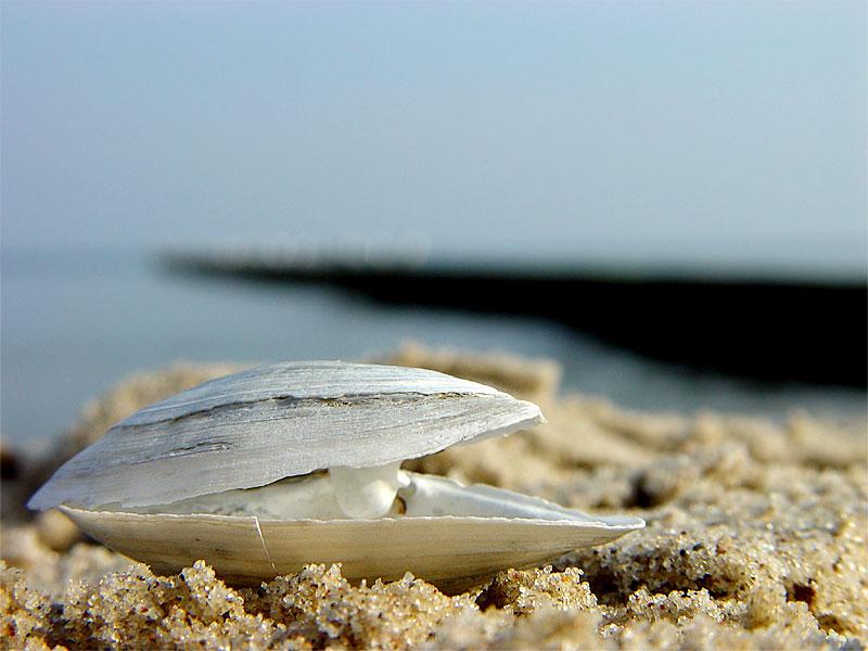 Muschel am Strand von Koserow auf Usedom