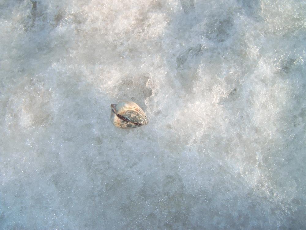 Muschel auf einer Eisscholle