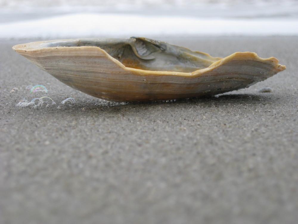 Muschel aus der Nähe