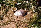 Muschel im Nest