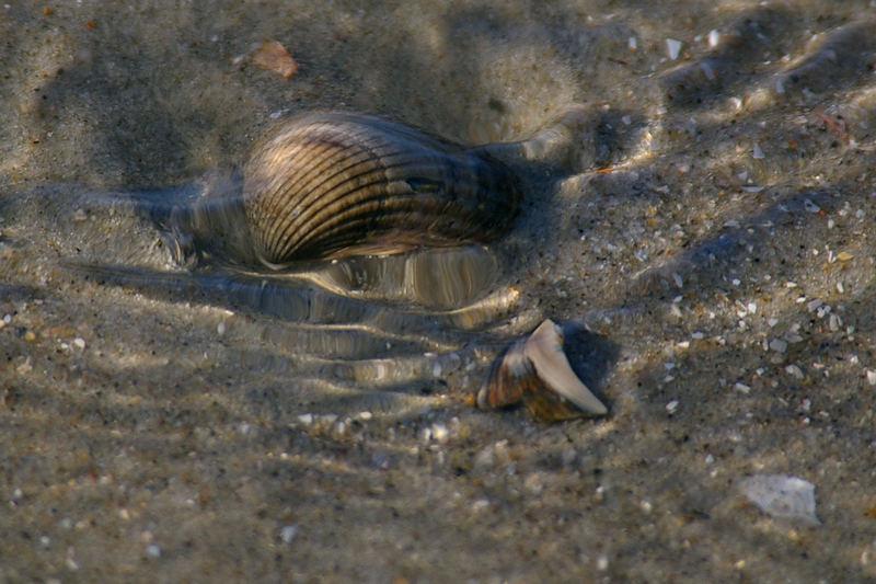 Muschel im Wasser