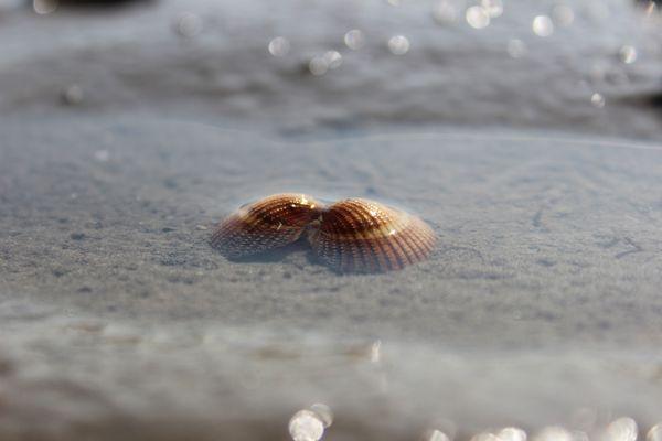 Muschel im Watt
