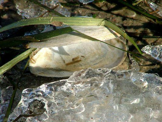 Muschel taut auf