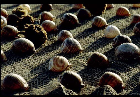 Muschelernte in einem tunesischen Hafen (Sousse)