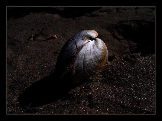 Muschelleuchten