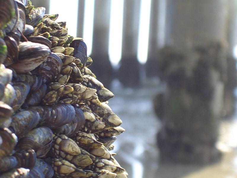 Muscheln am Manhattan beach pier