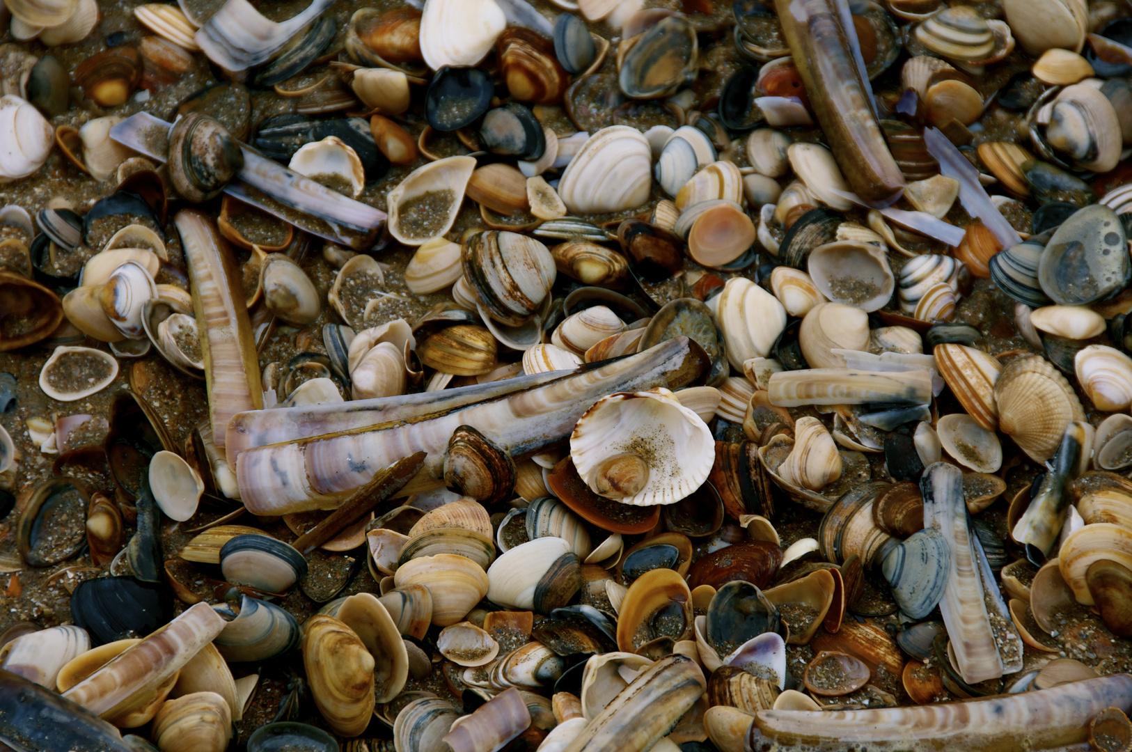 Muscheln an Nordsee