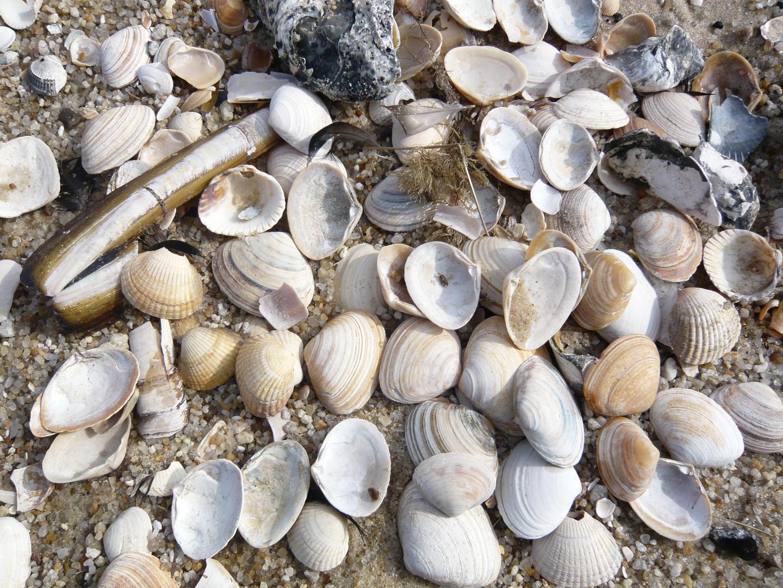 Muscheln auf Sylt