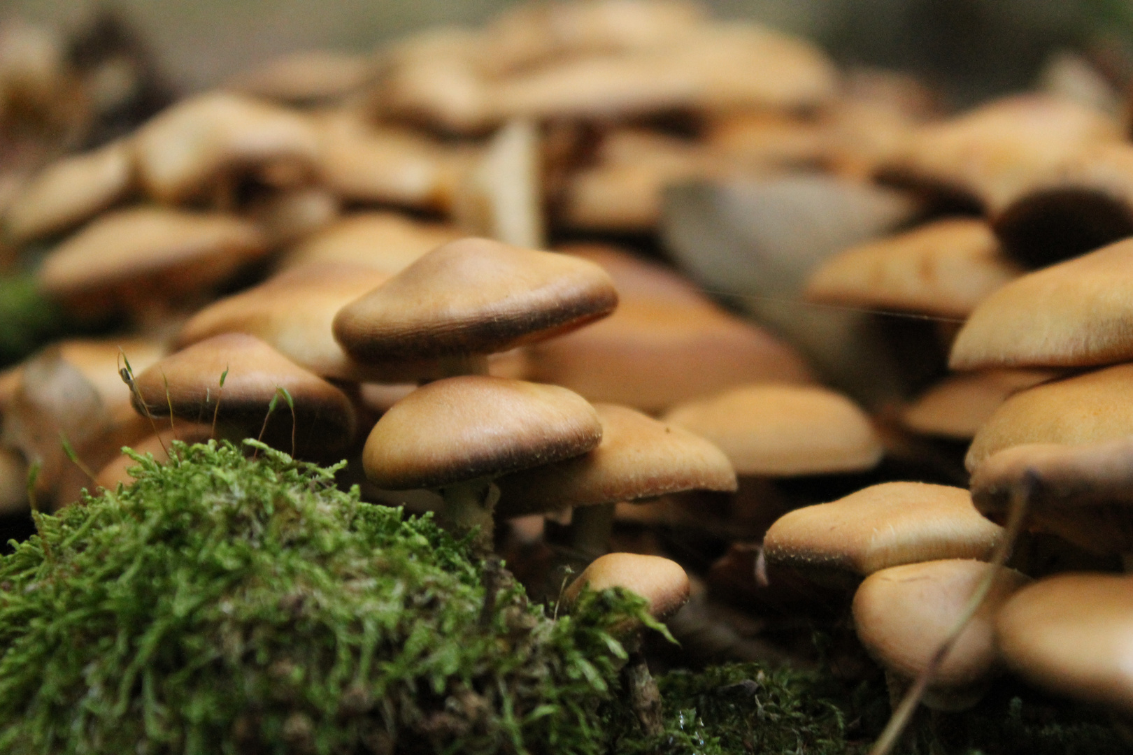 Mushroom-Gang
