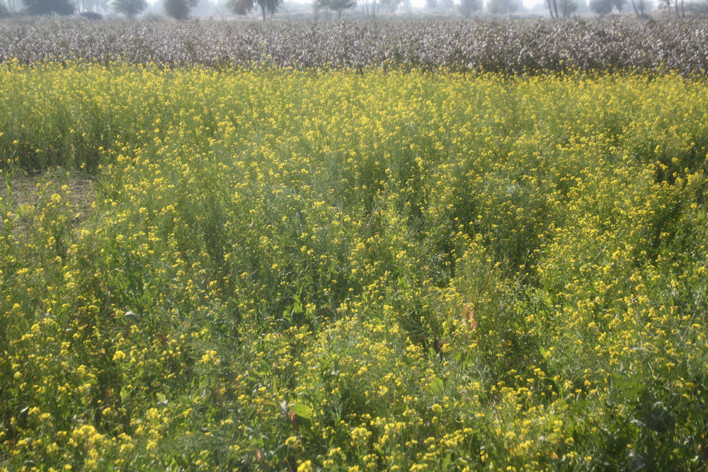 Mustard & Cotton Field