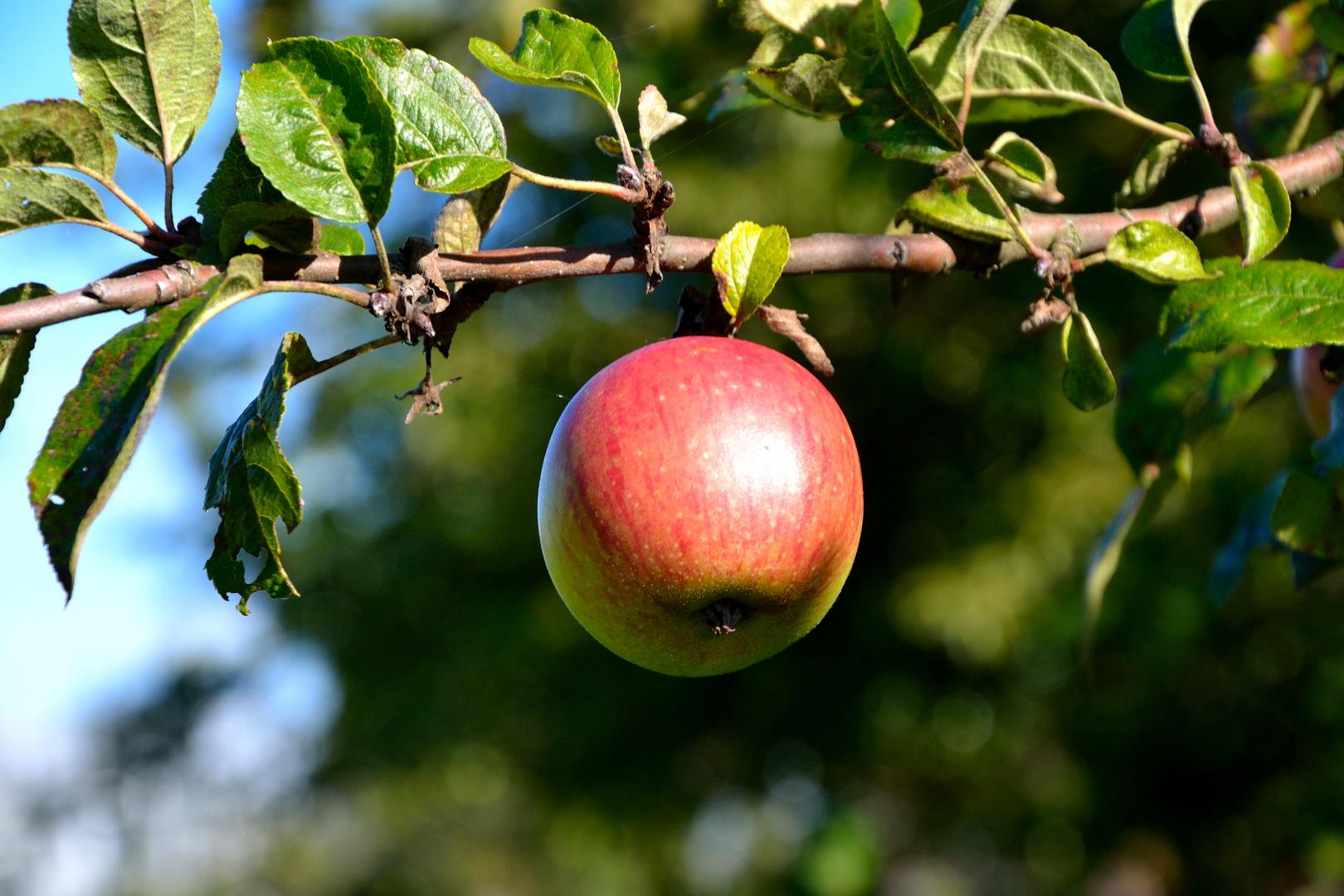 Muster Apfel