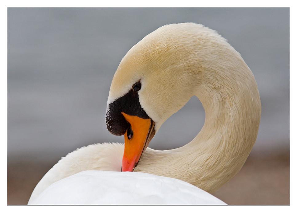 ~Mute Swan~
