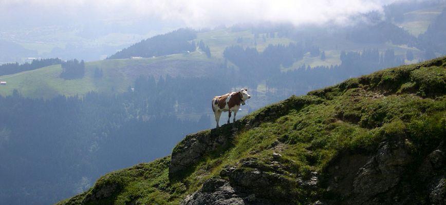 Mutige Kuh