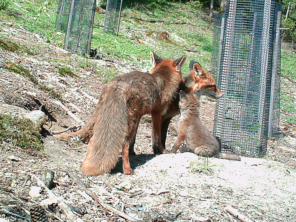 Mutter Fuchs und Vater Fuchs kümmern sich um die Welpen