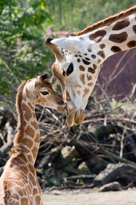 Mutter und Babygiraffe