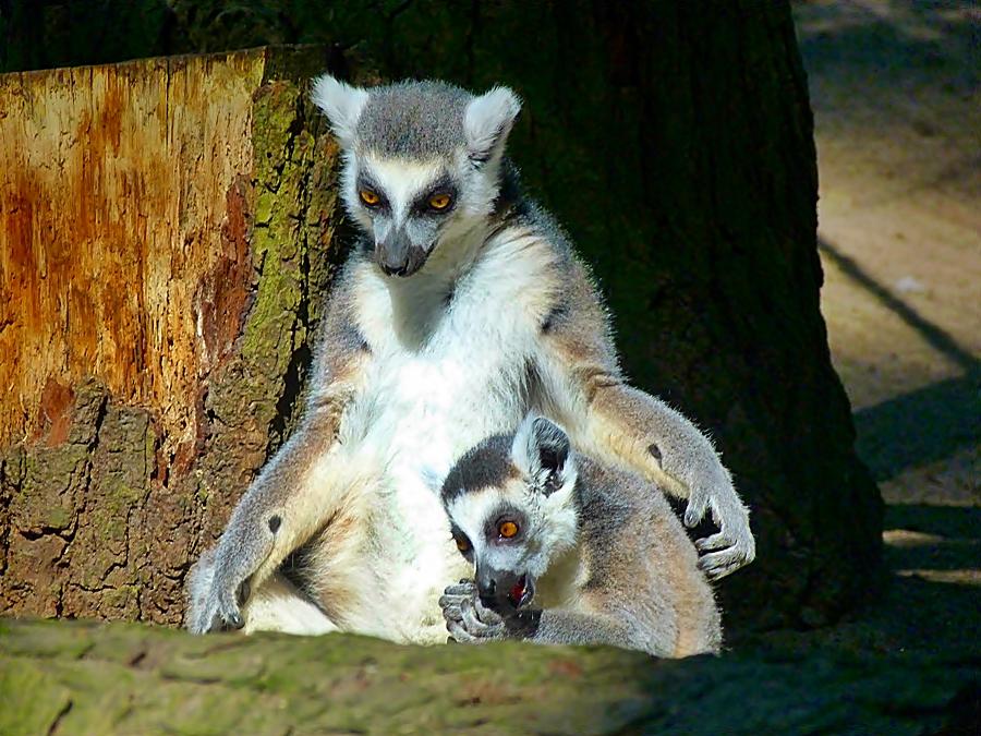 Mutter und Kind Katta . . .