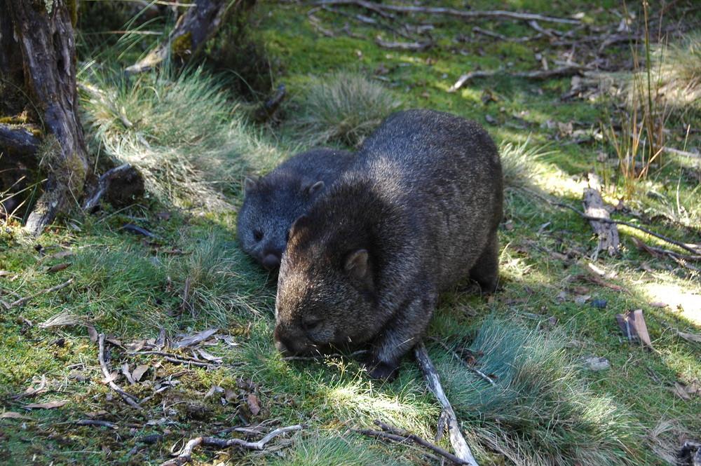 Mutter Wombat mit Kind auf Tasmanien