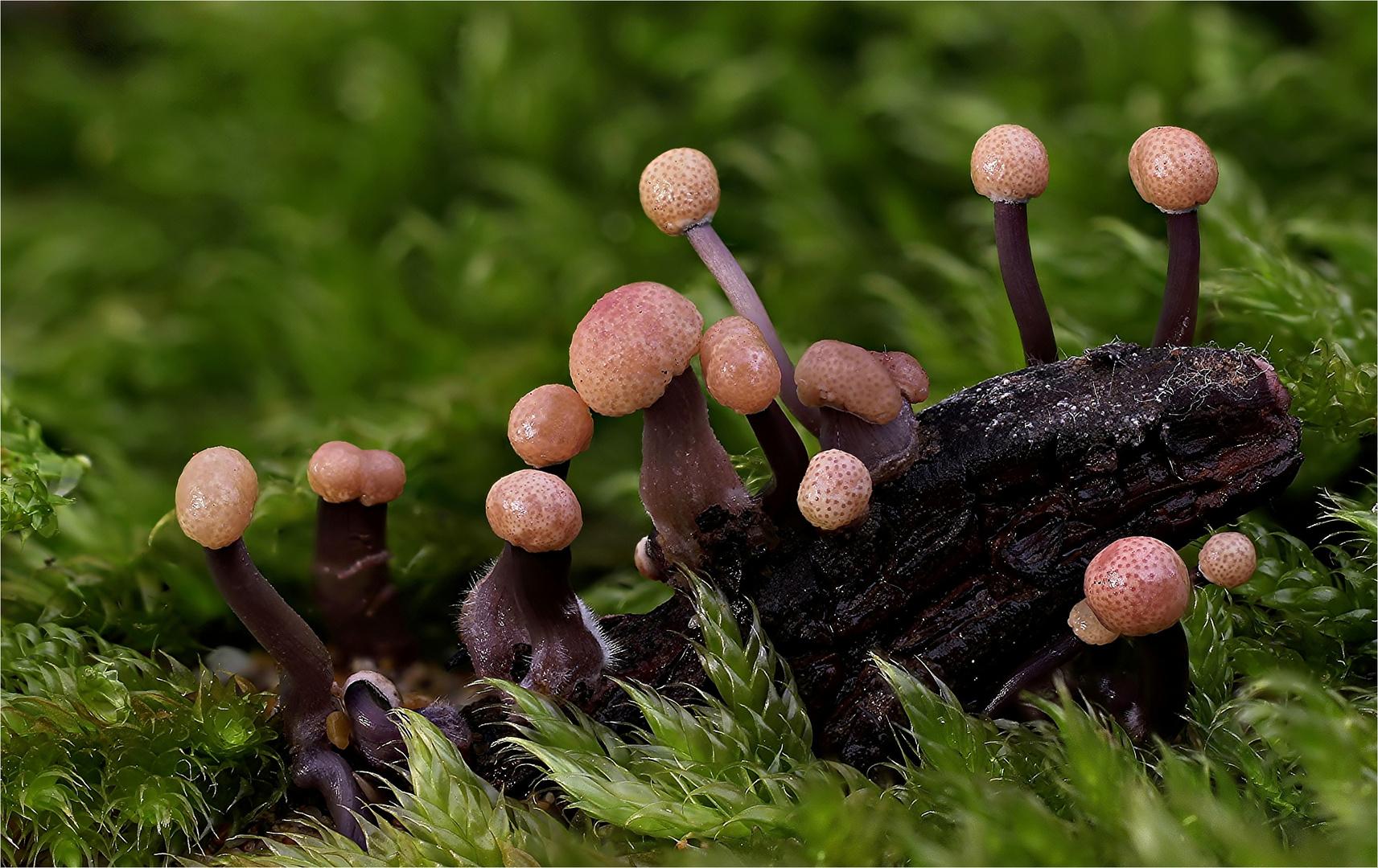 Mutterkorn-Sklerotienkeulchen (Claviceps purpurea)