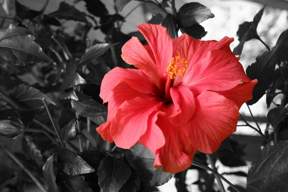 Mutters Hibiscus...