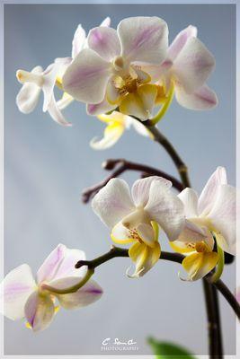 Mutters Orchidee