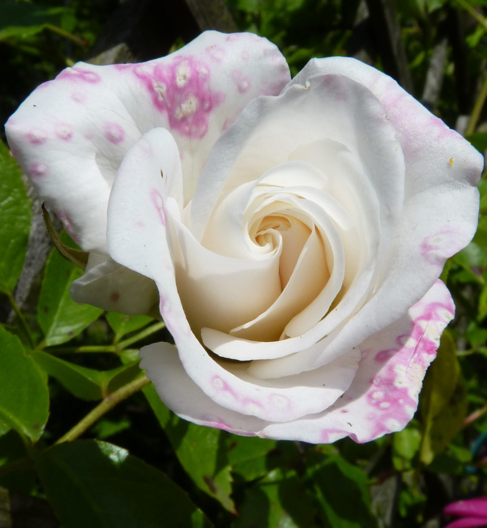 Mutters Rosen im Garten
