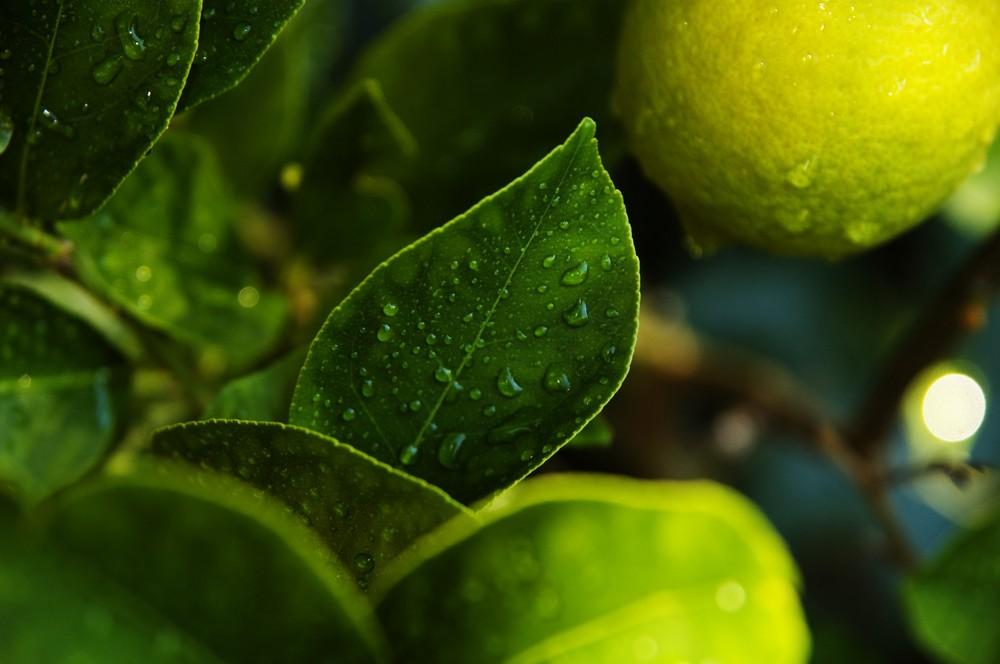 Mutters Zitronenbaum II - nach einem warmen Sommerregen