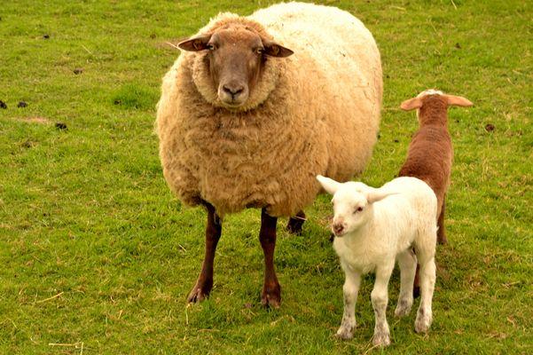 Mutterschaf mit ihren Kleinkindern