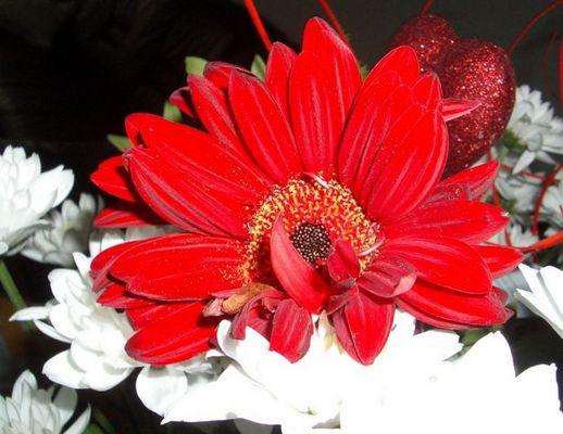 Muttertagsblume