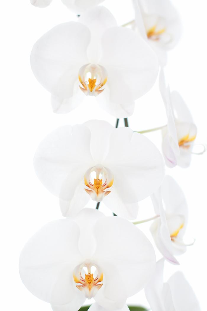 muttis stolze orchideen