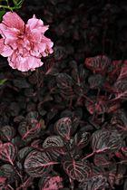 muy rosa