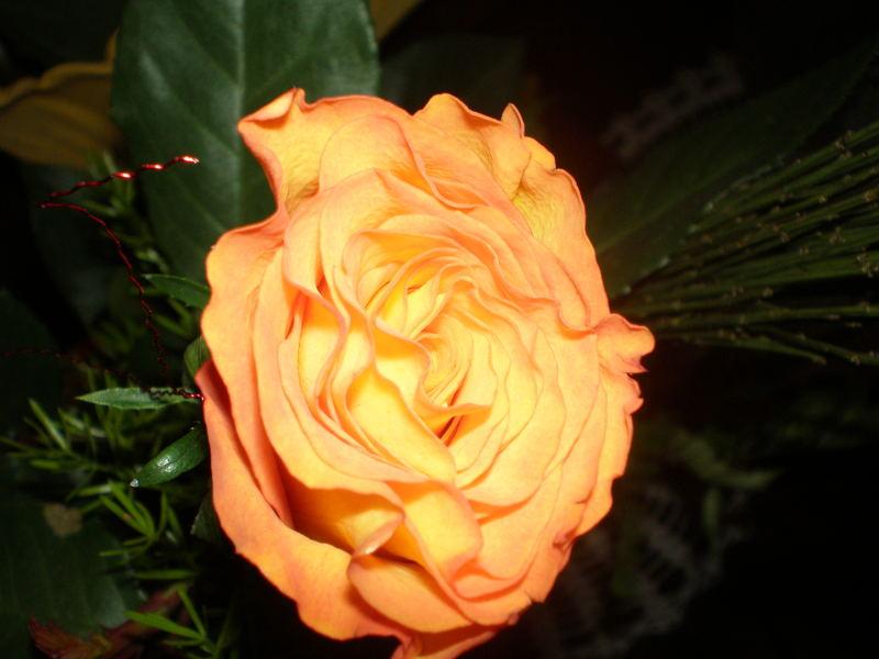 my birthday´s rose