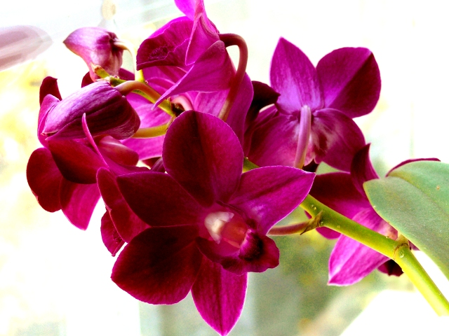 My Dendrobium nobile