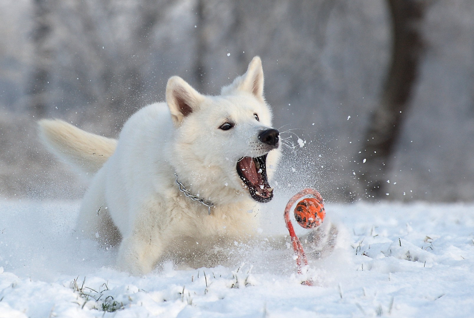 My dog playing in the snow