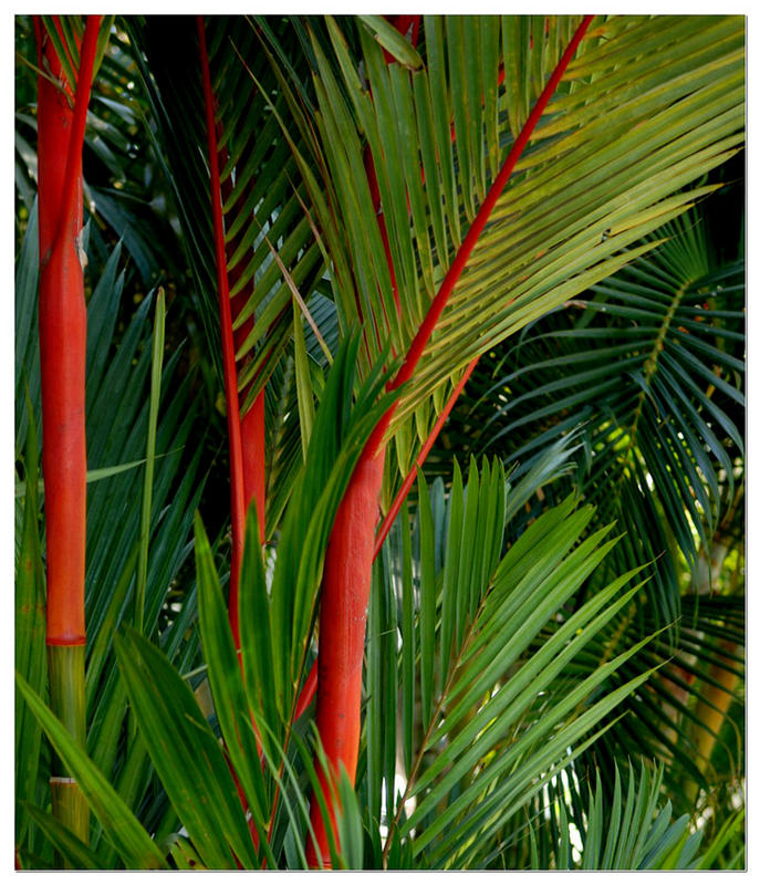 The red palm