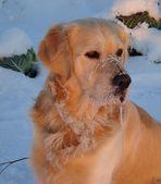 My frozen Hundeschnäuzchen Sam