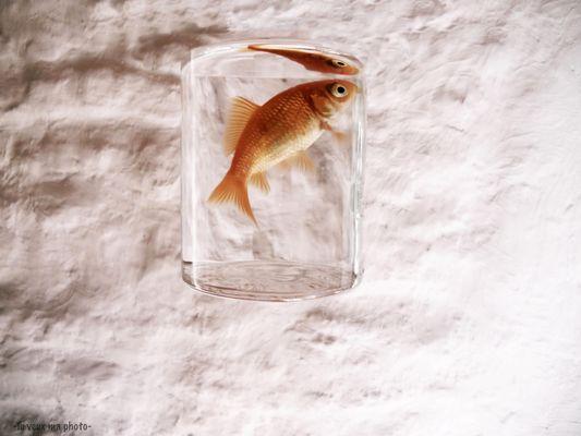 My goldfish flight