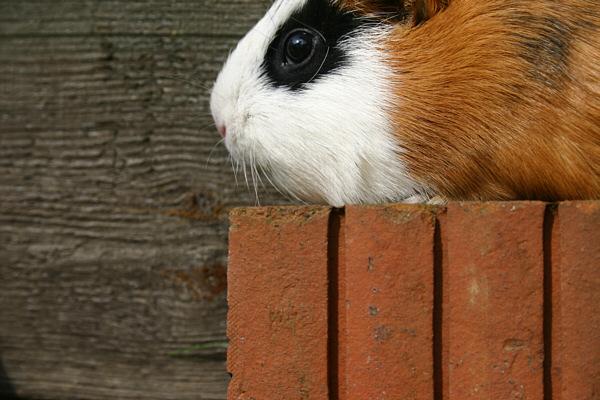 my guinea pig II