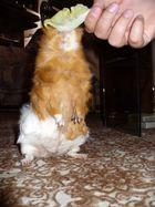 my guinea-pig Jessie 2.