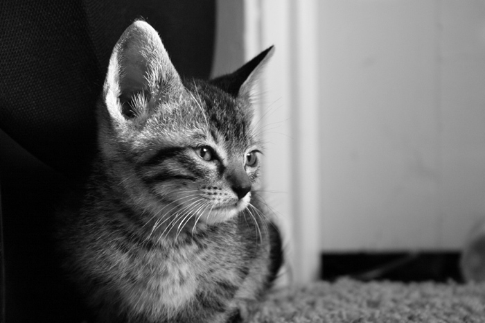 My little Bengal