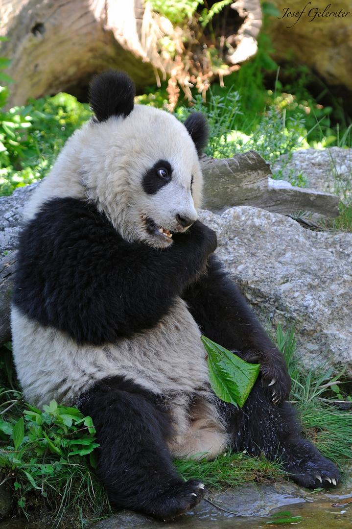My Panda Star
