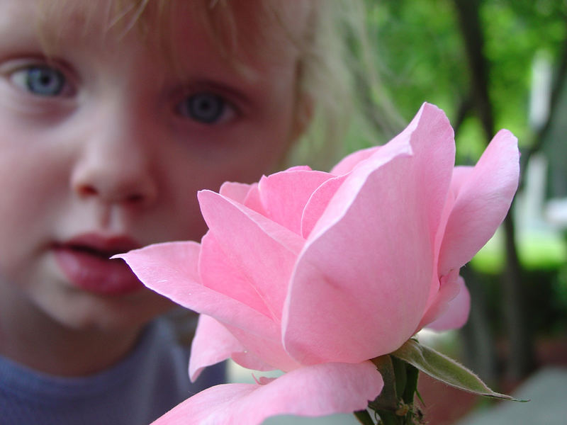 My rose blossom
