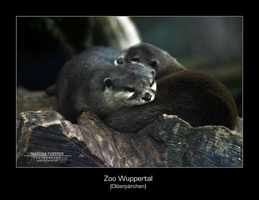 My significant otter ...