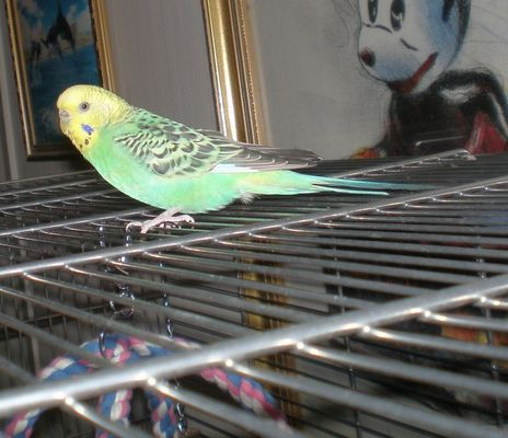 My soon 3 year old budgie Shirley