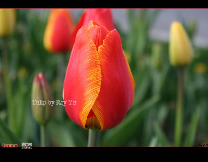 My tulip!