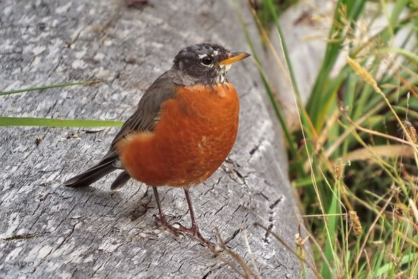 My very first American Robin