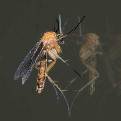 Mycetophilidae