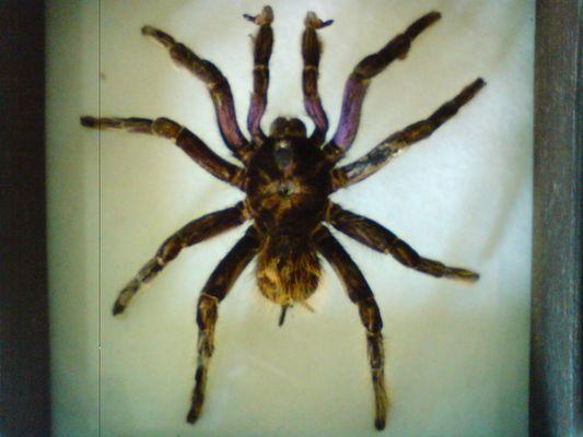 mygale du Pérou
