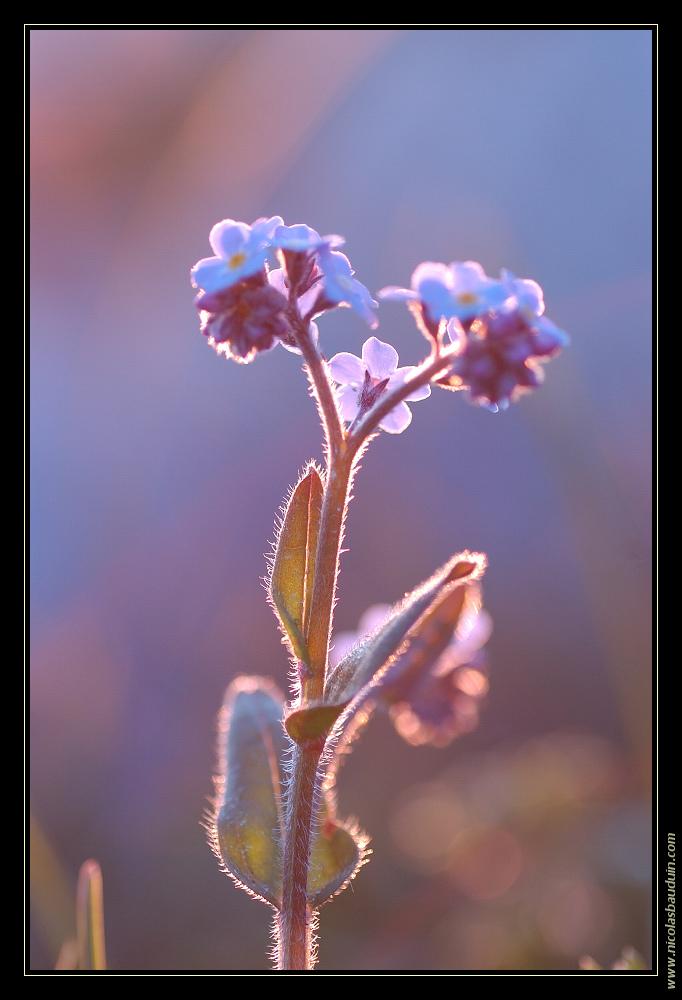 Myosotis au soleil couchant